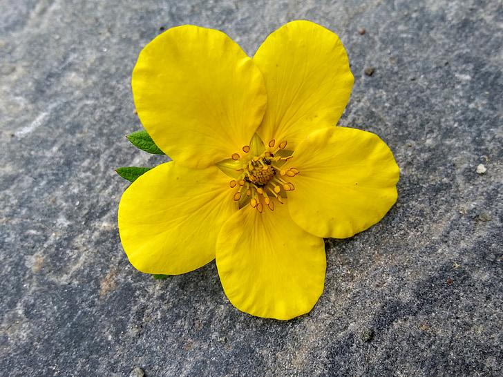 geltona, gėlė, geltona gėlė, Gamta, vasaros gėlių, vasaros, Žiedlapis