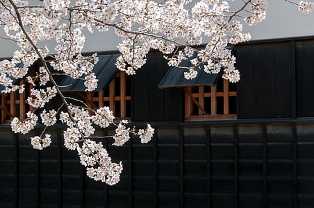 cherry, spring in japan, cherry tree, cherry blossoms, japan flower, pink, castle