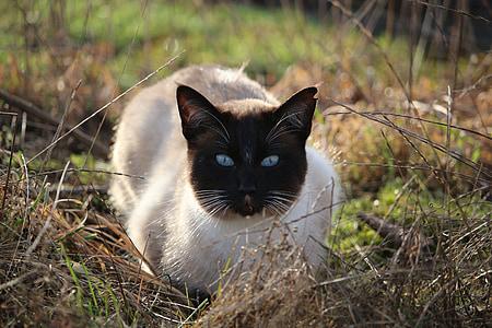 猫, シャム猫, シャム, 青い目, 猫の目, 草, lauer 氏