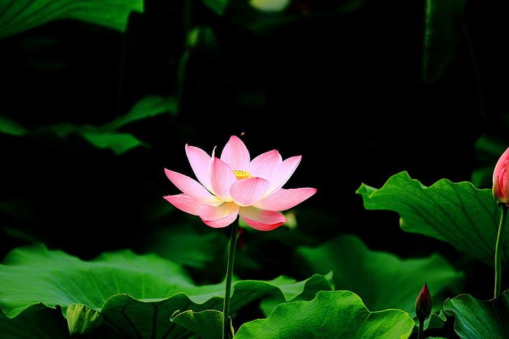 Lotus, tiik, HD, lill, pulber, õitsemise, vett taim