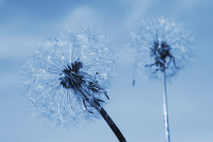 two of the dandelion, summer, flowering