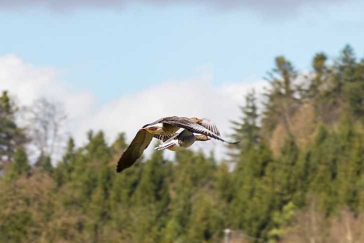 žąsys, laukinių žąsų, pora skrydžio, formavimas skrydžio, pilkosios žąsys, paukščio skrydis