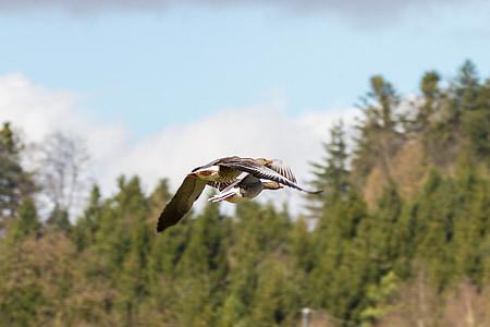 oques, oques salvatges, parell de vol, vol de formació, oques gris, vol dels ocells