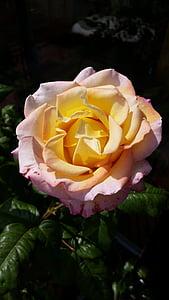 Rosa, groc, taronja, Romanç, flor, flor, flor