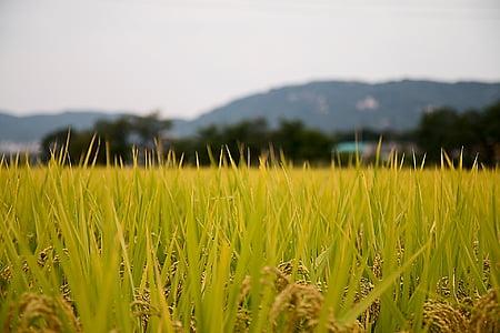 riisi paddies, riigi, Sulawesi, Sügis, korea Vabariik, loodus, väli