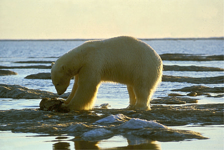 polar bear, bear, arctic, nature, animal, mammal, wildlife