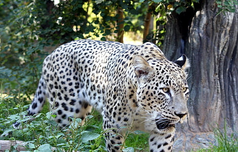 big cat, cat, leopard, persian, tiger, wildlife
