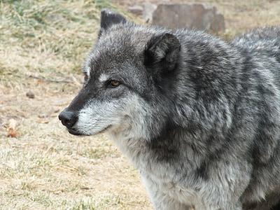 llop, animal, vida silvestre