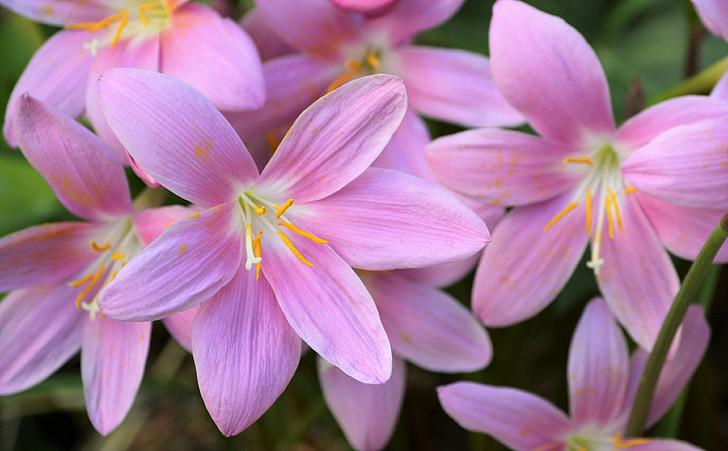 safrà, jardí, flors, flor rosa, Safrà bord