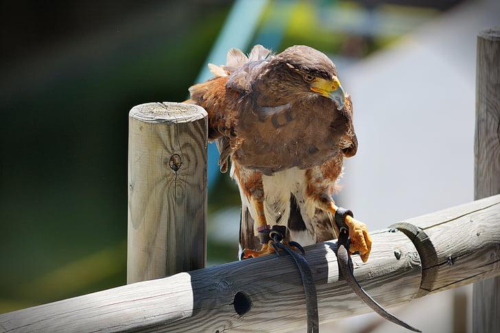 ave, bird of prey, birds of prey, feathers, bird, falconry, nature