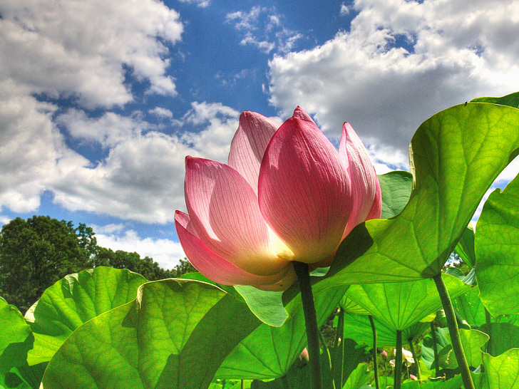 water lily, Lily, plant, Blossom, Botanische