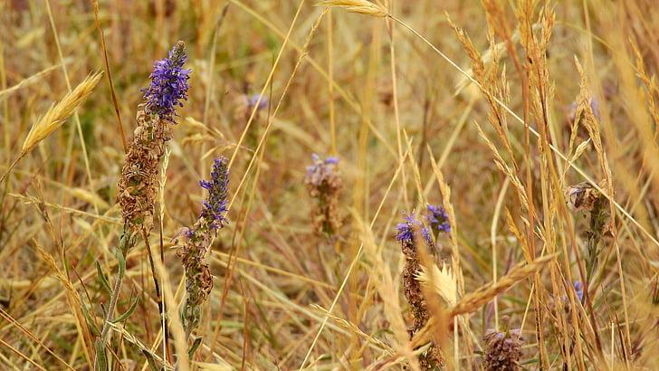 suhe livade, suhe trave, suha, slamke, cvijeće, pašnjak