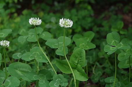 Neliapila, Sativa, kasvi