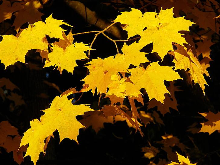 auró, groc, natura, tardor, fulla, tardor, arbre