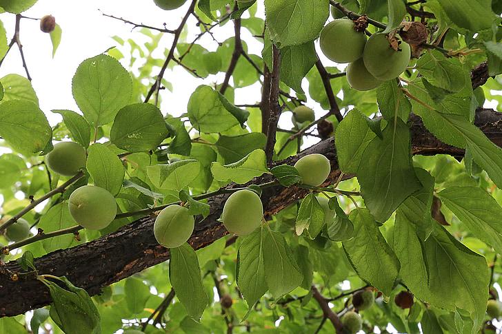 pruna, fruita, verd, aliments, fresc, fruita fresca, fruites