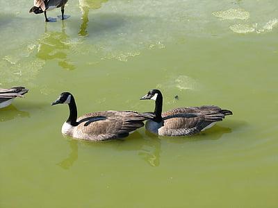 ガチョウ, メイト, 池, 水, 鳥, 鶏, 自然
