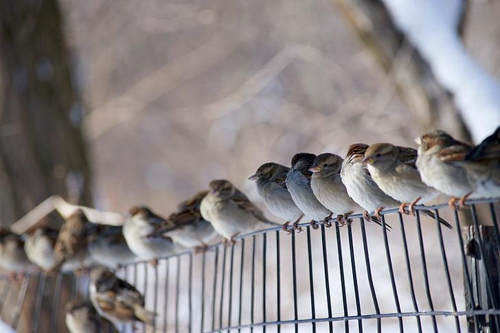 ptice, kolac, vrapci, ograda, smuđ, priroda, biljni i životinjski svijet