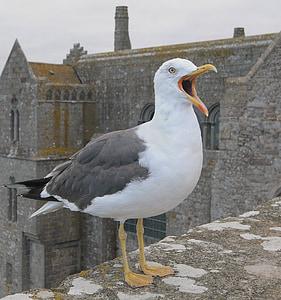seagull, animal, bird, sea bird