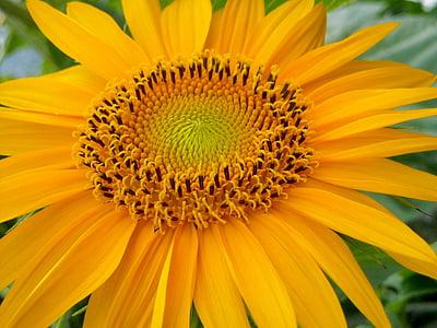 päevalill, lill, suvel, loodus, lilled, Värvid, kollane
