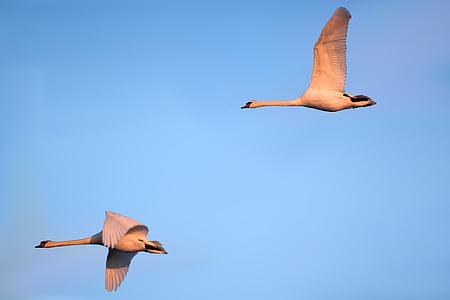 joutsenet, Linnut, lentää, laulu joutsenet, vesilintu, elbaue, prettin