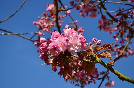 japanese flowering cherry, cherry blossoms, tree, blossom, bloom, japanese cherry trees, japanese cherry