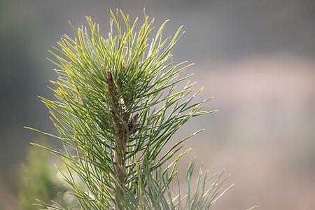 pine needles, conifer, pine, needles, pine cones, tap, tree
