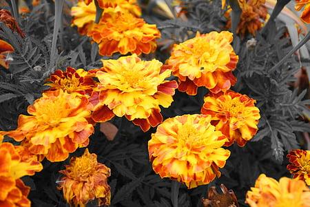lilled, barhotki, oranž, kollane, Aed lill, loodus, ere