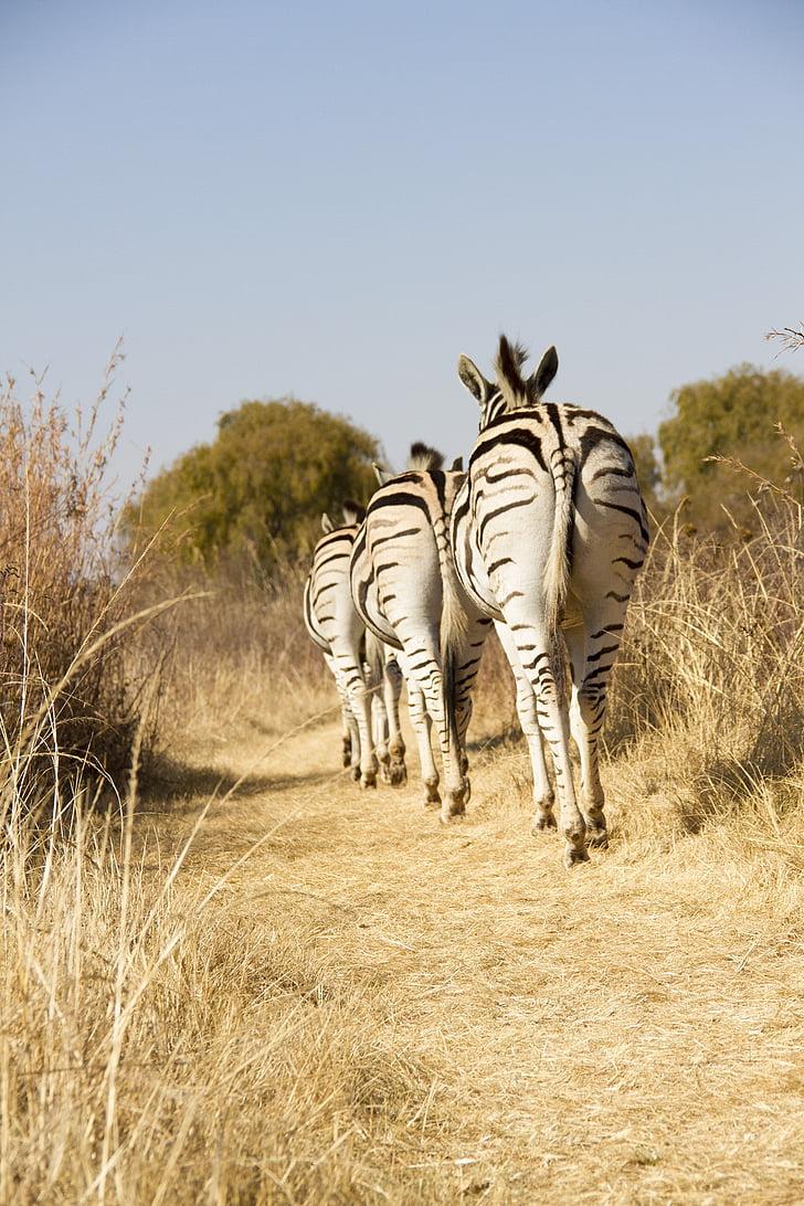 vida silvestre, Àfrica, zebres, vida animal silvestre, animal, animals en estat salvatge, llarga durada