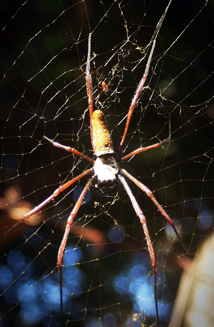 spider, arthropod, closeup, underbrush, tropical, copy, zoology