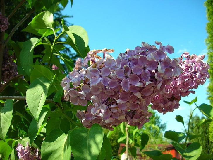 sense, jardí, violeta, planta, flor, blau violeta, violeta fosc