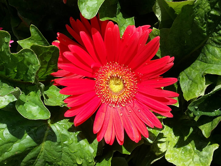gerber, daisy, red, dew, spring, bloom, color