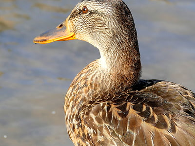 duck, water bird, bird, nature, animal, duck bird