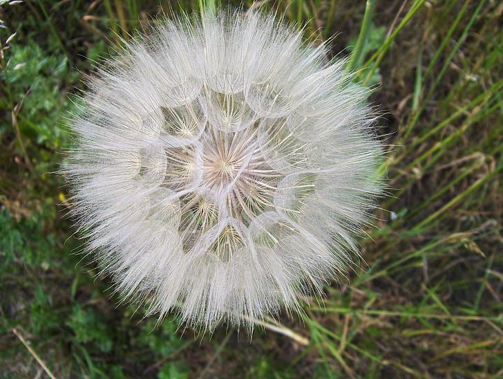Löwenzahn, Sonchus oleraceus, vulgaris, Anlage, Nonnen, Wiese, Samen