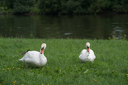 bird, white, swans