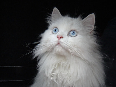 cat, persian, white, blue eyes