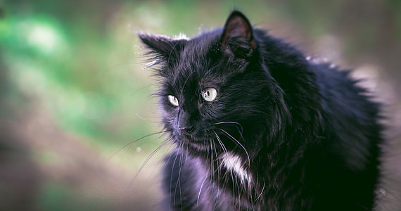 cat, black, black cat, animal, nature, wildcat, cat eyes