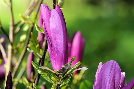 magnolia, dark magnolia, bush, blossom, bloom, beautiful, tender
