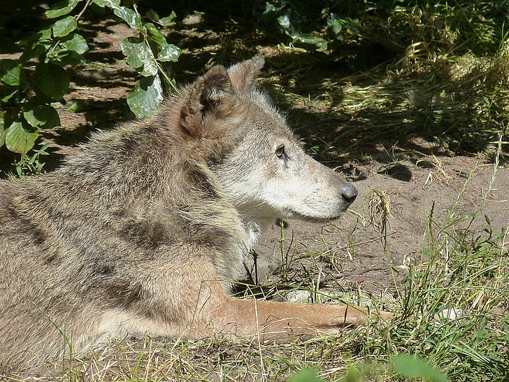 llop, zoològic, món animal, mamífer, animal, recinte, natura