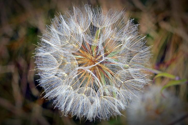 Samen, Blume, Löwenzahn, fliegende Samen