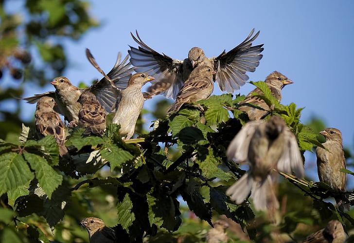 sparrows, leadership, group, nature, bird, animal, wildlife