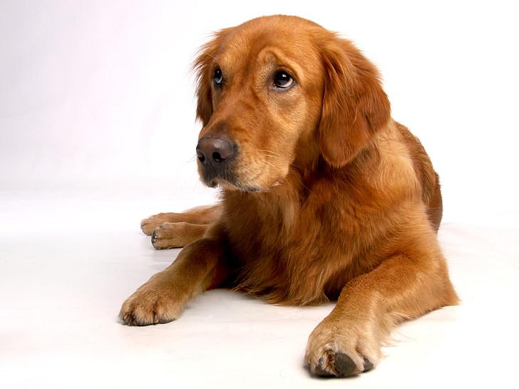 cane, buona, caro, animale, Ritratto animale, animali domestici, carina