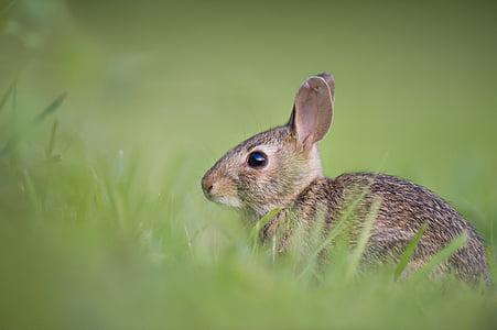 selective, focus, brown, rabbit, green, grasses, fur