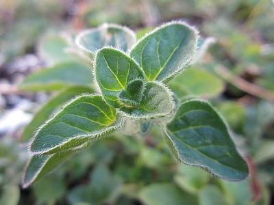 origan, Herb, plante, vert, de plus en plus, feuilles, nature