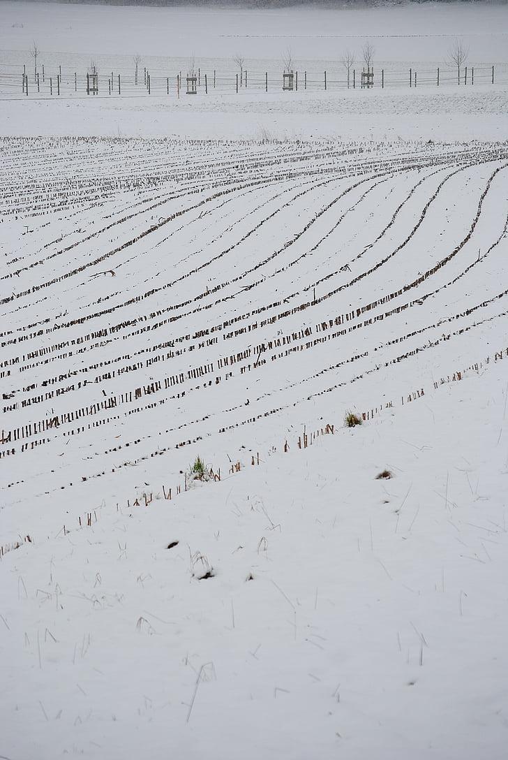 tuds, neu, línies, hivernal, cobert de neu, blat de moro, recollir