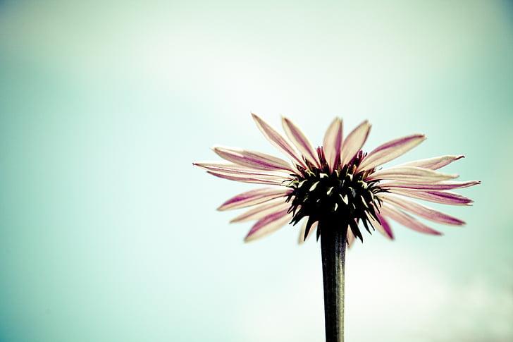 flor, flor, Gerbera, flor, primavera, romàntic, dia de Sant Valentí