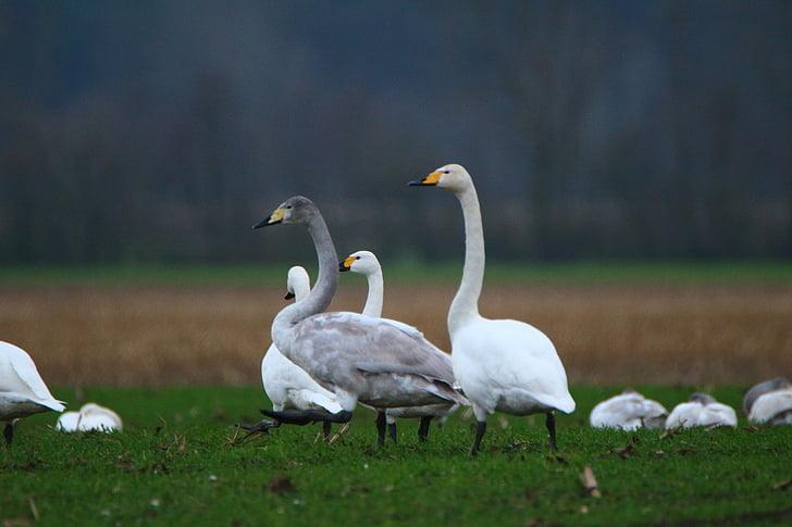 лебед, Поен лебед, птица, лебеди, стадо от птици, мигриращи птици, птици
