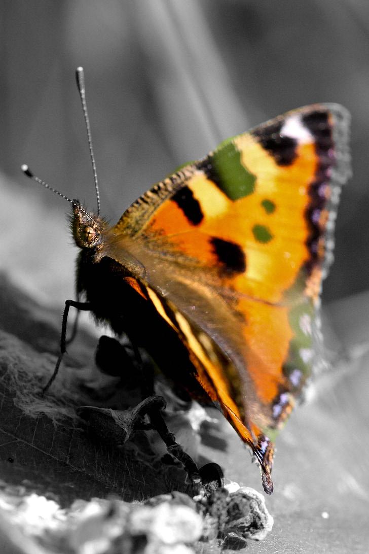malá líška, motýľ, hmyzu, Príroda, zviera, zviera portrét, motýľ - hmyzu