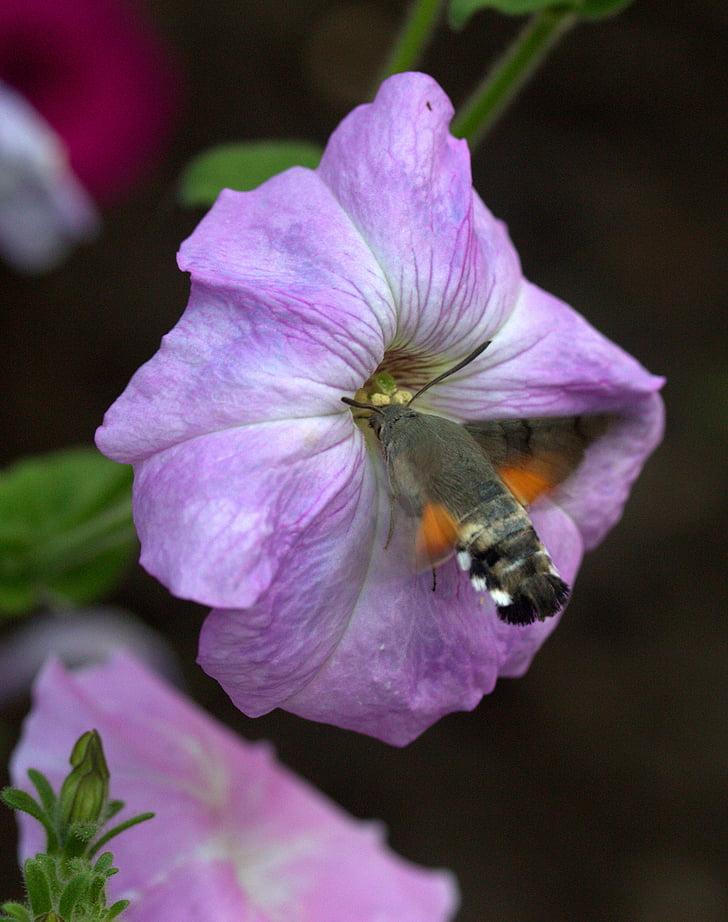 moth, hummingbird, flower, pollen, flight, insecta