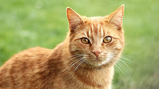 cat, redheaded, tomcat, mammal, head, animal, the red-haired