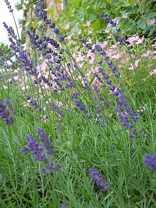 gėlės, Gamta, Levanda, gardus, Aromatiniai, tikrosios levandos, violetinė